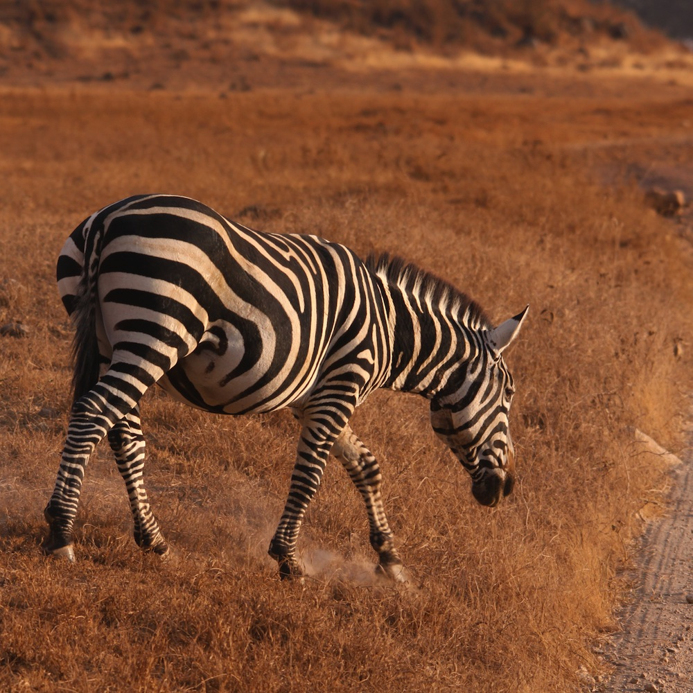 zebra_zimbabwe_safari_savana_africa_safarizimbabwe