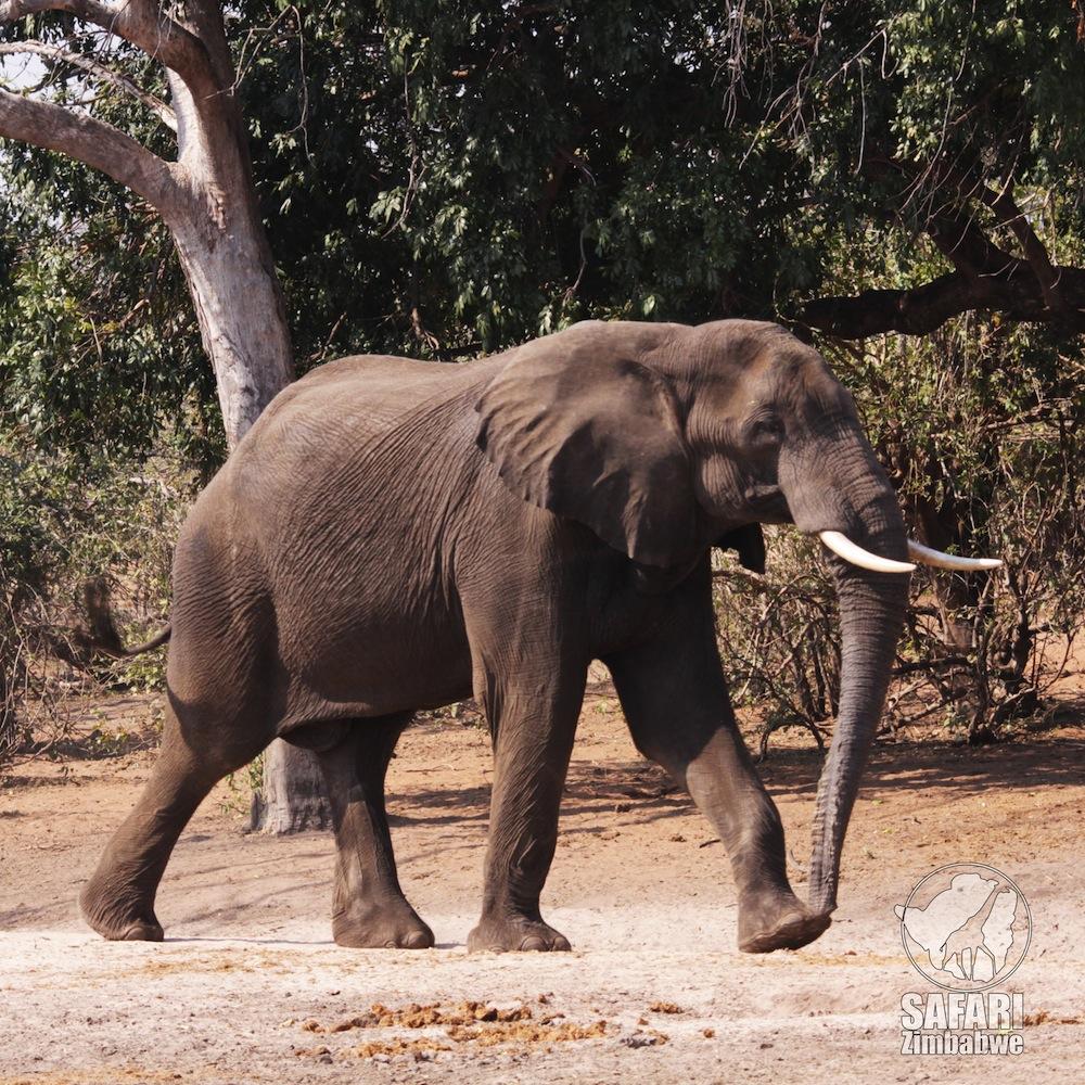 elefante_safari_africa_manapools_zimbabwe_pachiderma_safari zimbabwe_savana