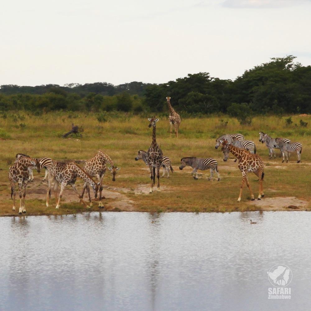zimbabwe_safari_africa_giraffa_zebra_safari zimbabwe_natura africana