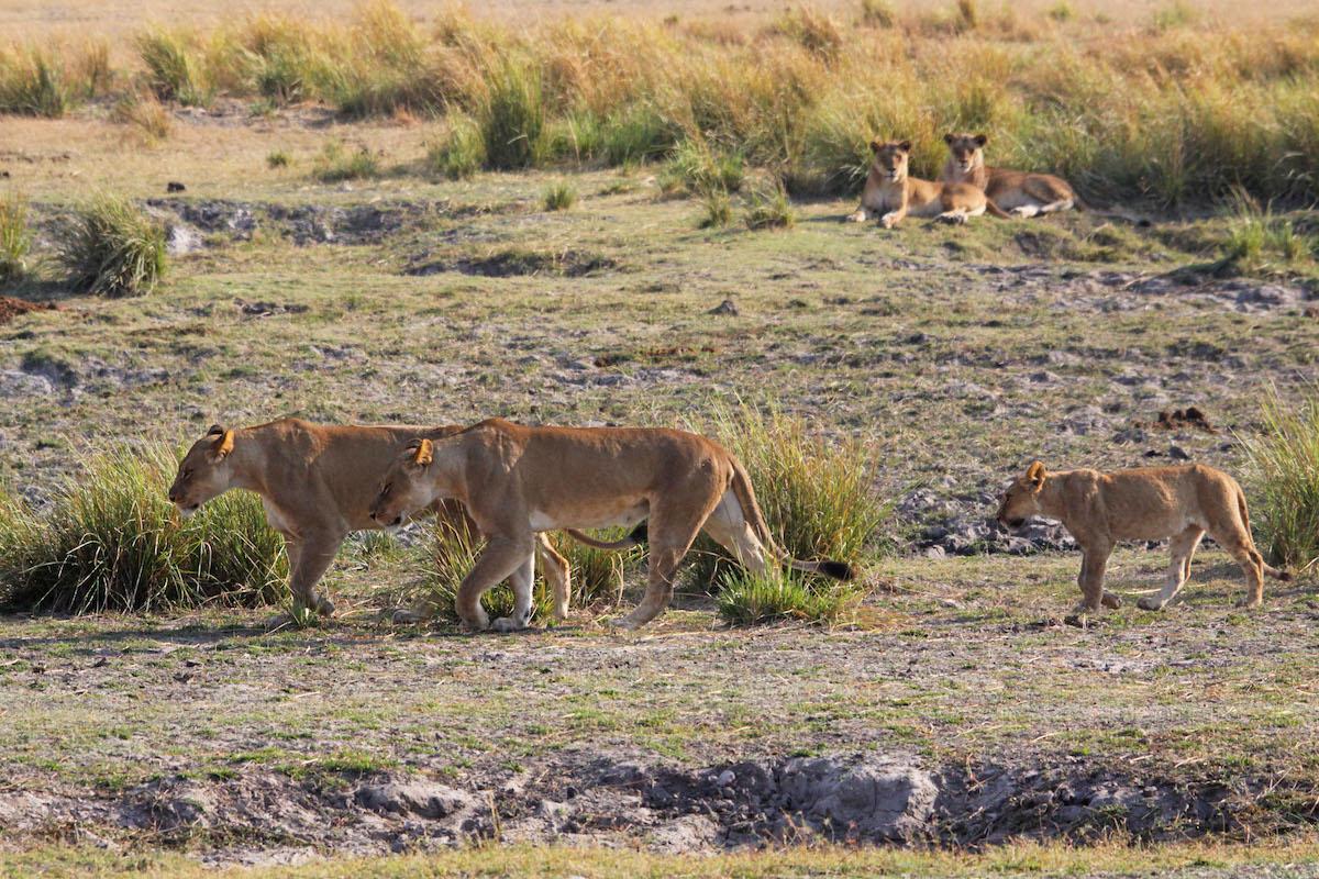 leonesse_leoni_lion_zimbabwe safari_botswana