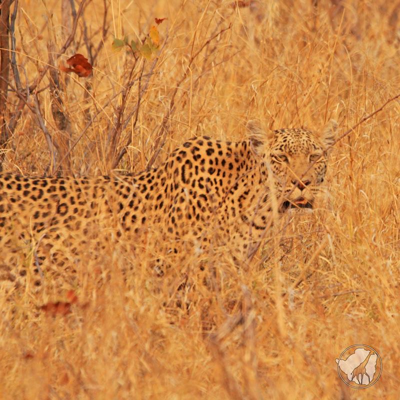 leopardo mimetizzazione safari afica