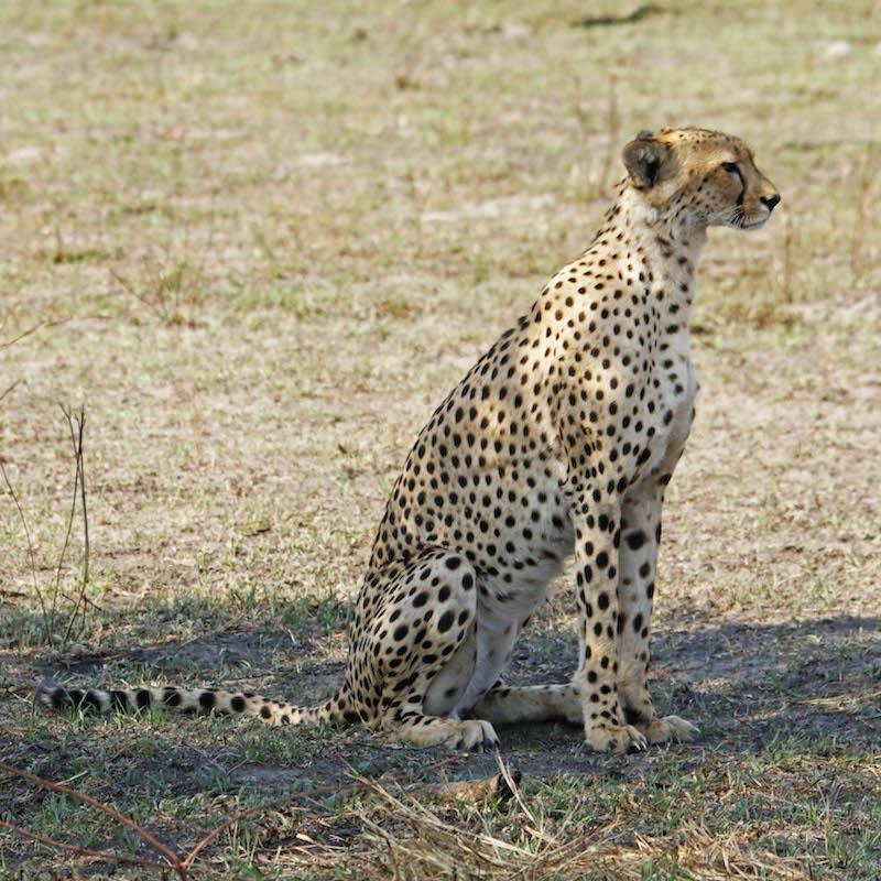 ghepardo seduto zimbabwe