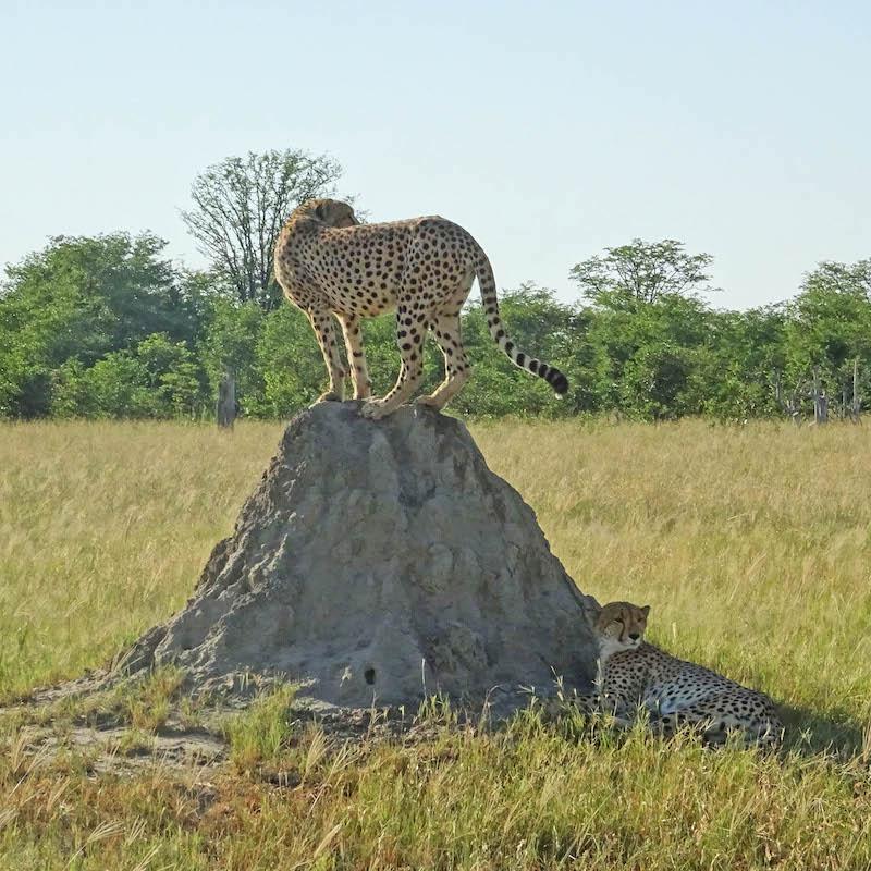 ghepardo termitaio zimbabwe