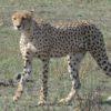 Il ghepardo