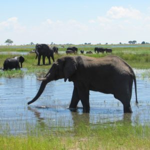 elefanti_chobe_botswana_zimbabwe_safari zimbabwe_africa_savana_safari_alessio