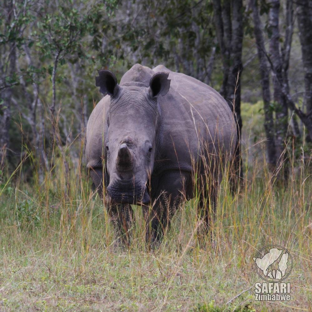 rhino_rinoceronte_zimbabwe_safari zimbabwe_africa