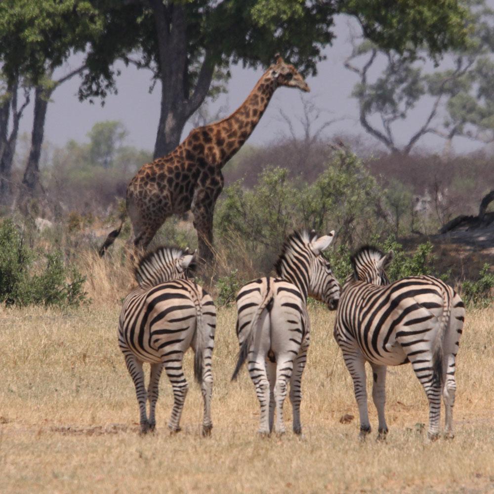 zebre_giraffe_chobe_safari zimbabwe_cascate vittoria_zambesi