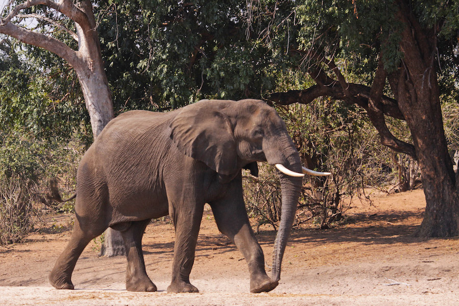 elephant_elefante_zimbabwe_safari zimbabwe_africa