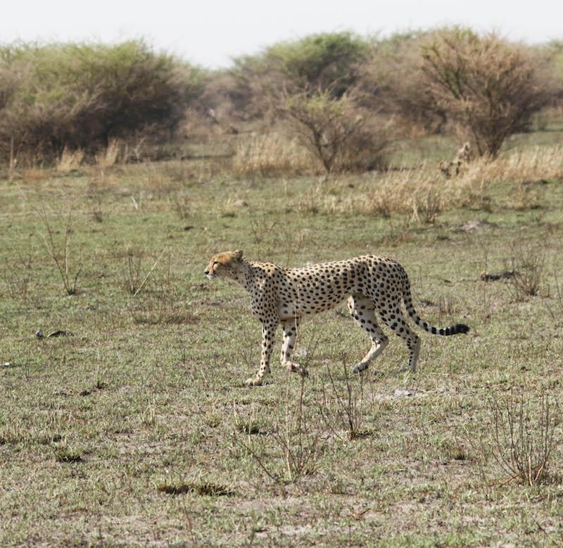 ghepardo zimbabwe