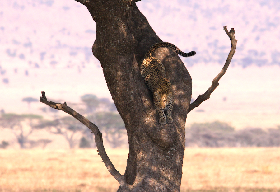 01 leopardo zimbabwe hwange