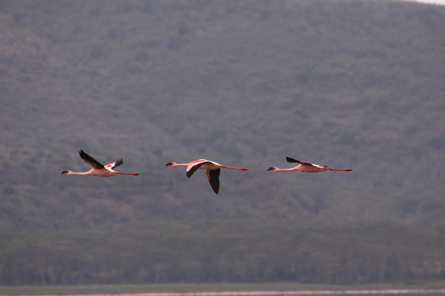 02 fenicotteri flamingo
