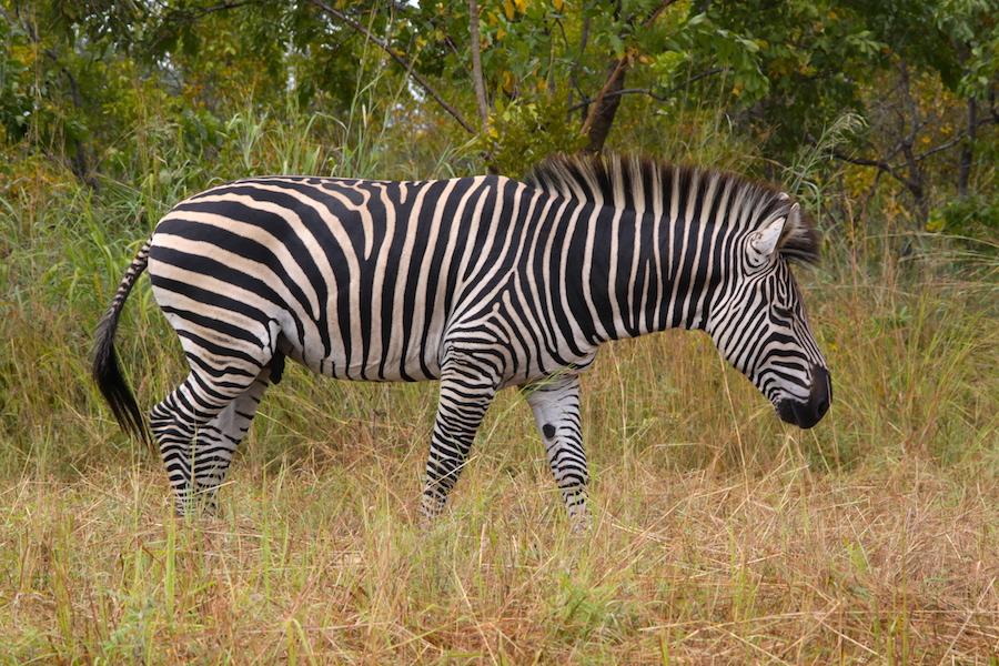 04 zebra
