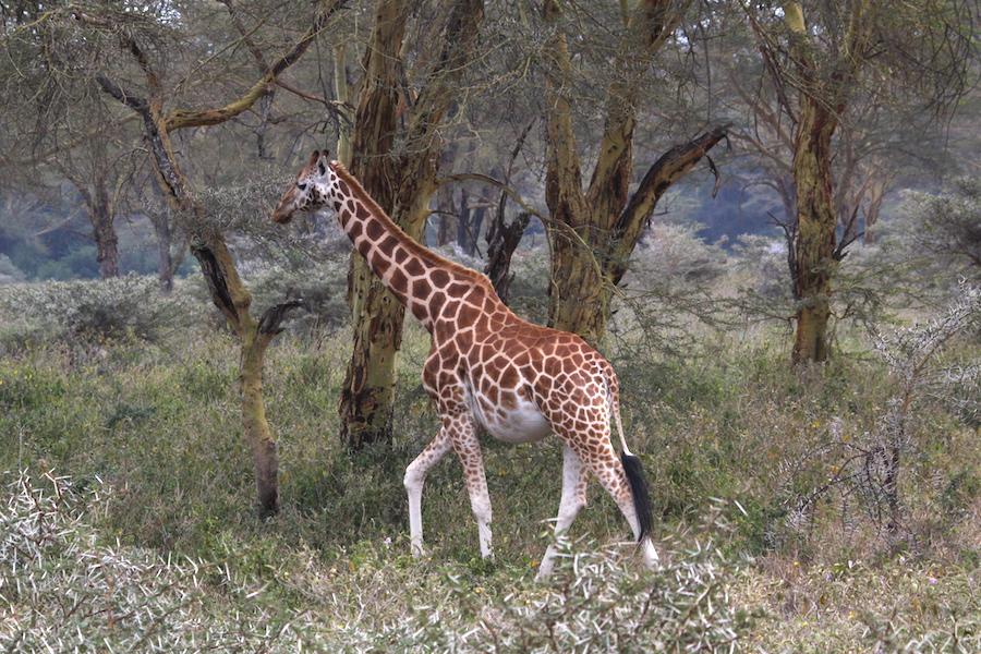 05 giraffa