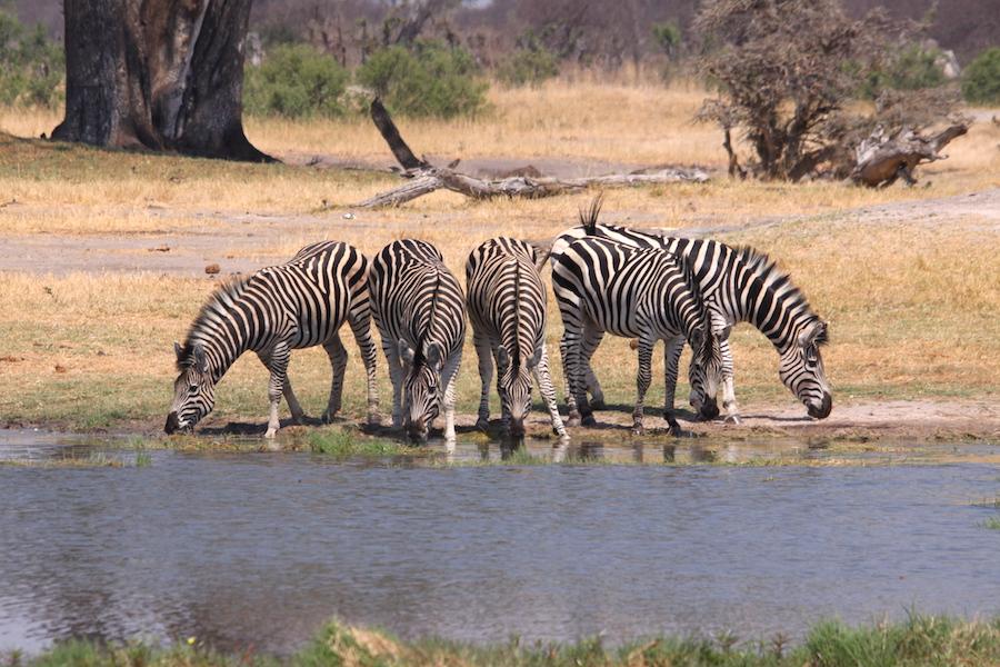 05 zebre che bevono