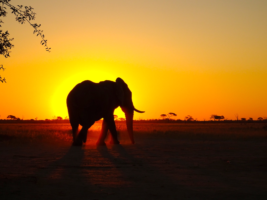 1 elefante shiluette