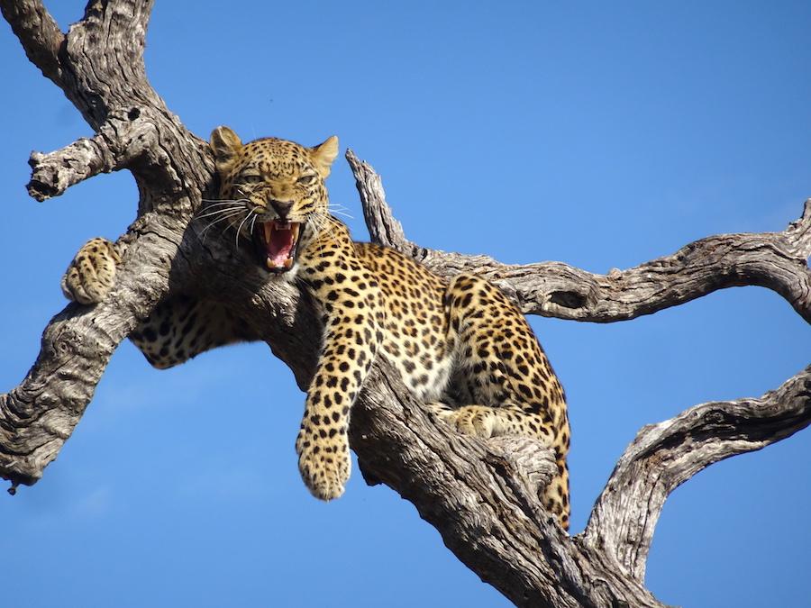 1 leopardo sull'albero