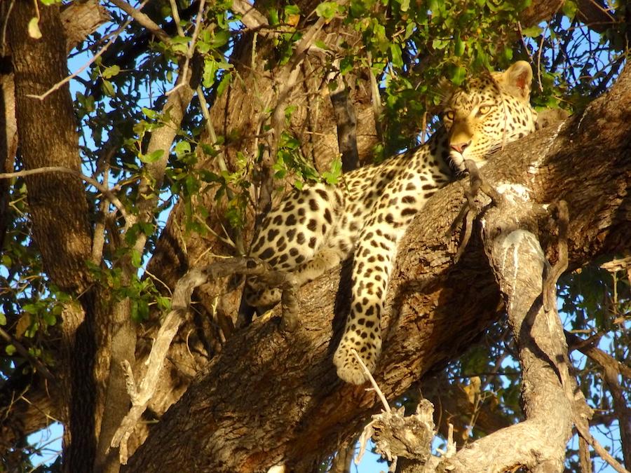 1 lepardo albero