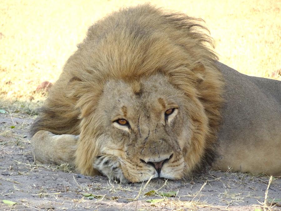 2 leone primo piano