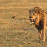 i leoni cacciano e litigano