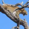 leopardo vs babbuini