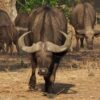 bufalo nero africano